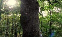Broceliande arbre energie denis sanchez